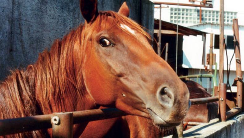 лошадиная морда