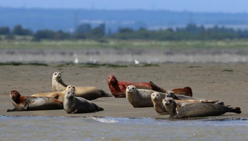 колония тюленей в устье Темзы