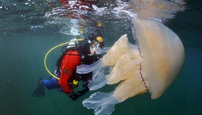 Гигантские медузы облюбовали британские воды