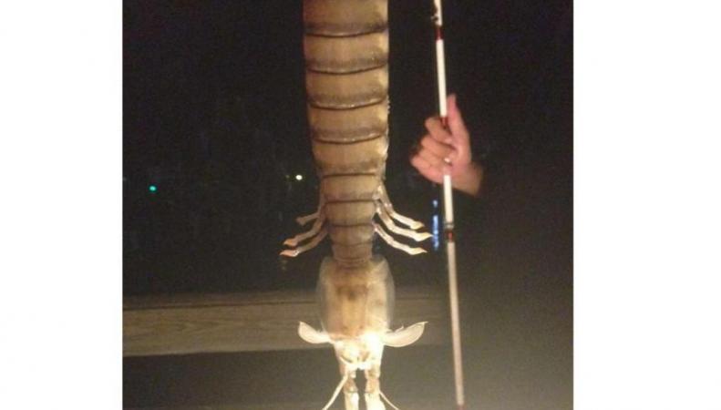 Гигантская креветка