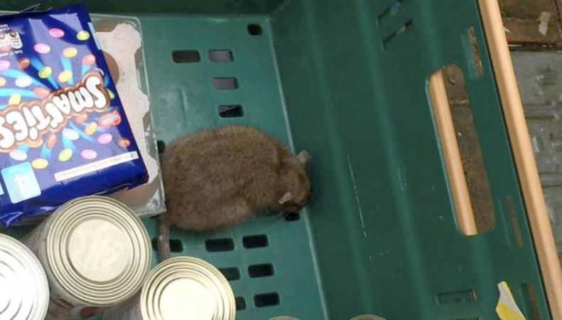 Крыса в лотке с продуктами