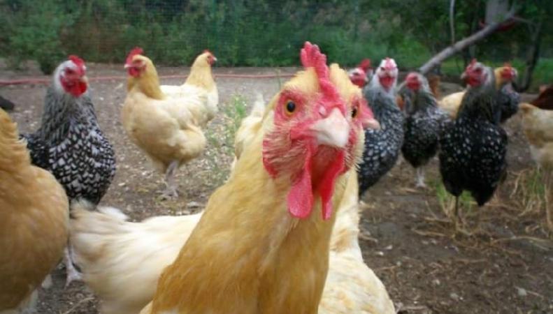 Британский паб нарушил куриные права
