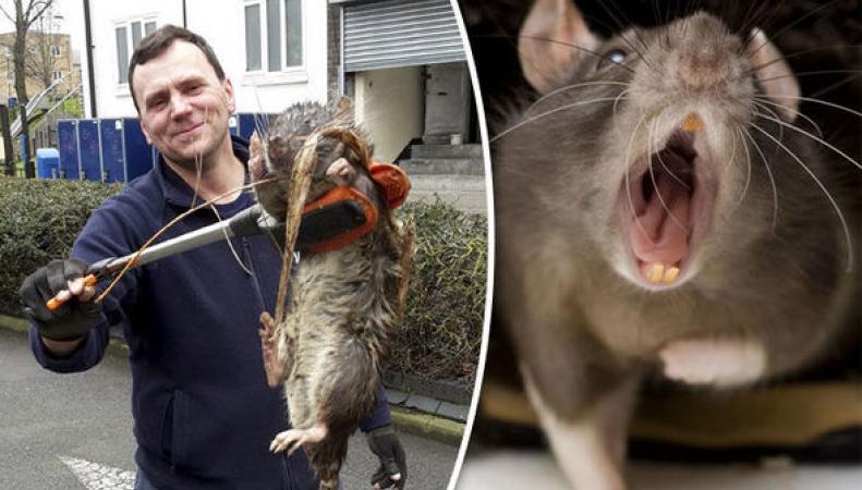 Гигантская крыса-монстр была обнаружена в Лондоне