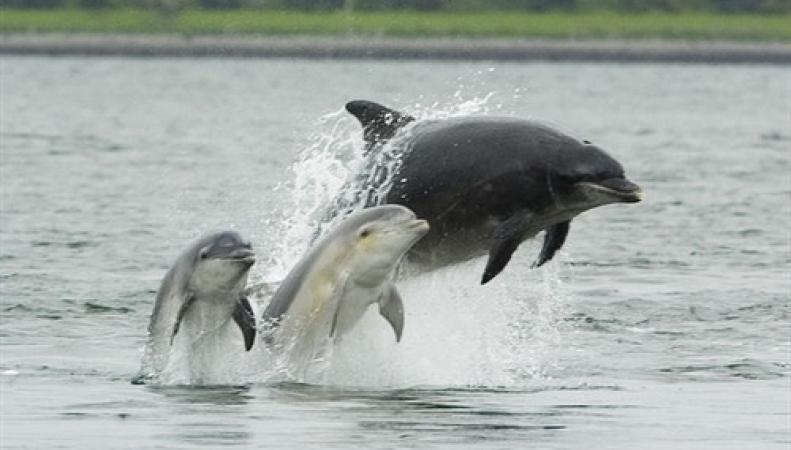дельфины у берегов Шотландии