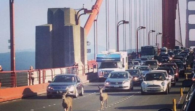 Олени на мосту Сан-Франциско