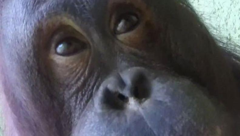 Орангутанг Шери снял двухминутное видео