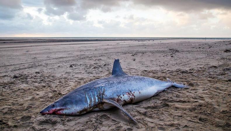 Акула в Уэльсе