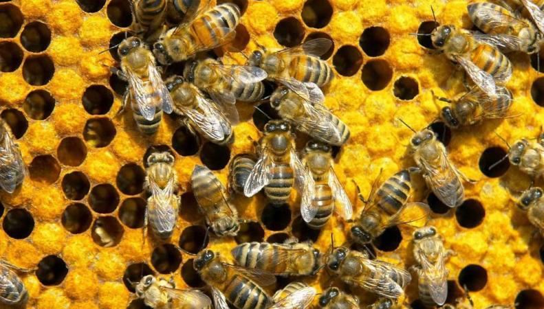 Обама предложил выделить $50 млн на спасение медоносных пчел