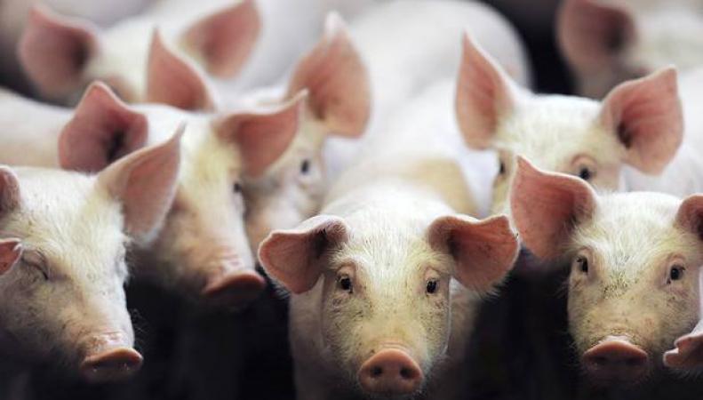 свиноферма зараженное мясо