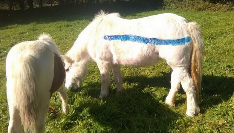 В Англии покрасят пони для спасения от гибели на дорогах