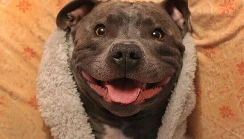 Стаффордширский терьер из Британии покорил интернет своей улыбкой