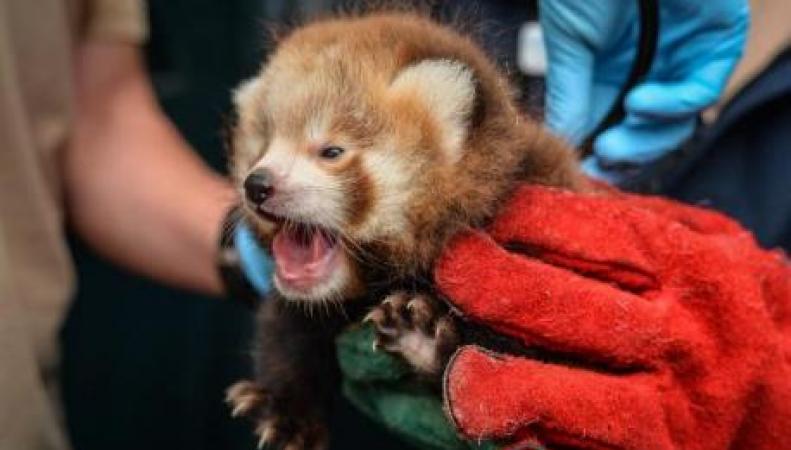 детеныш красной панды
