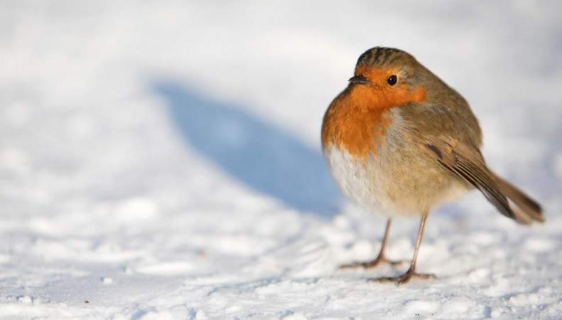 зарянка на снегу