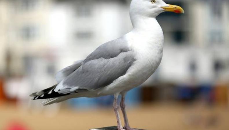 Чайка-убийца терроризирует голубей в Гайд-парке