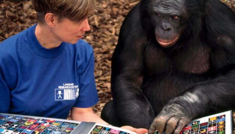 Интеллект шимпанзе