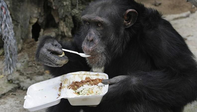 Пьяный шимпанзе закусывает
