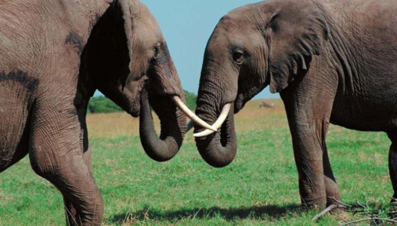 Дикие животные - слоны