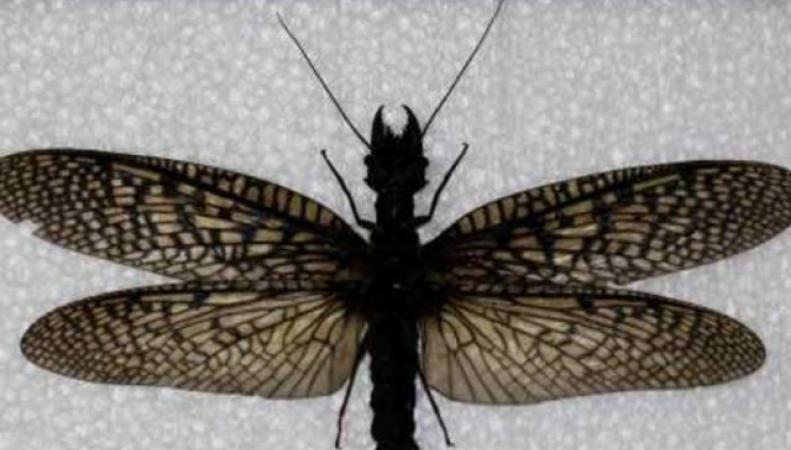 Крупнейшая в мире стрекоза
