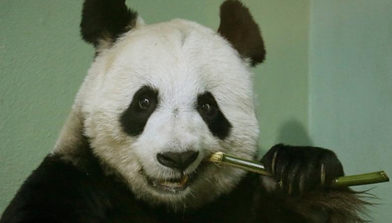 панда Тянь-Тянь