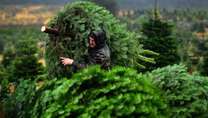 купить елку в Великобритании