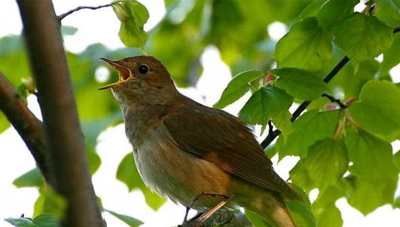 В Великобритании ученые создали электронный распознаватель голосов певчих птиц