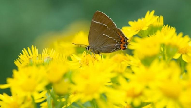В Шотландии обнаружили бабочку, которую не видели с 1884 года