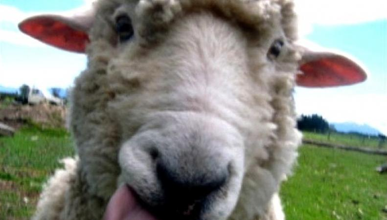 Британские коноплянные овцы
