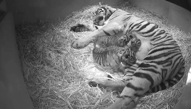 Лондонский зоопарк суматранские тигры