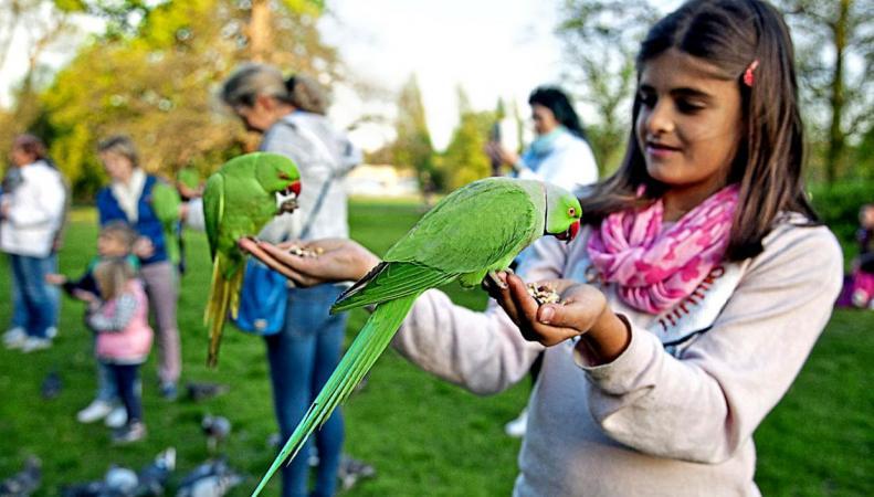 В Лондоне расплодились попугаи фото:standard.co.uk
