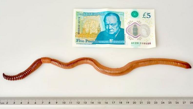 Гигантский дождевой червь