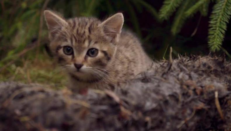 В Хайлендсе спасены детеныши редчайшей дикой кошки