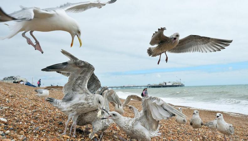 Депутаты Палаты общин обсудят агрессивное поведение чаек фото:standard.co.uk