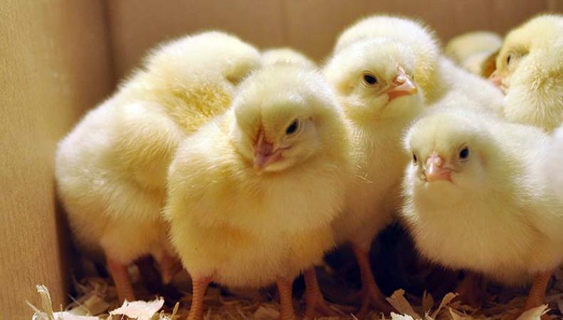 Около тысячи цыплят, выброшенные в поле, едва не погибли