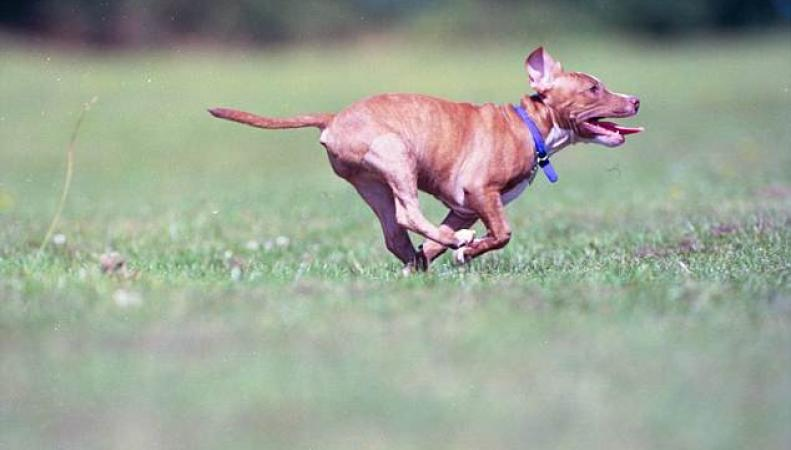В Великобритании наблюдается всплеск похищений породистых собак