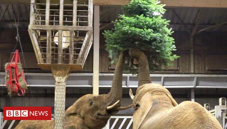 Животным в зоопарке Колчестера раздали рождественские елки