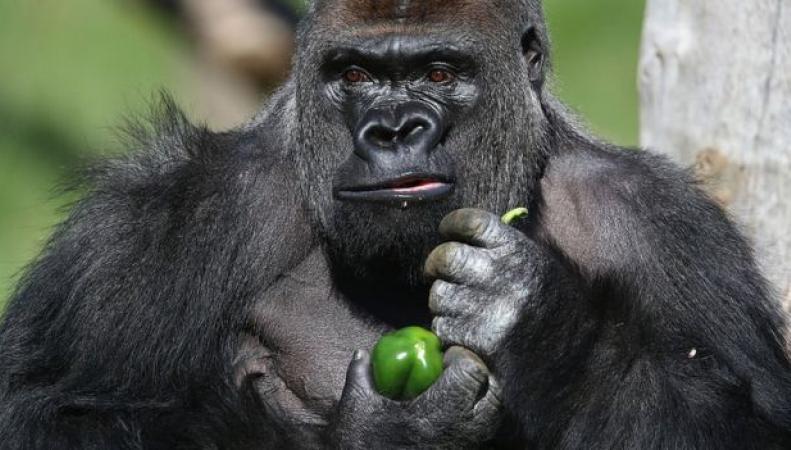 Горилла сбежала из павильона  в Лондонском Зоопарке фото:bbc.com