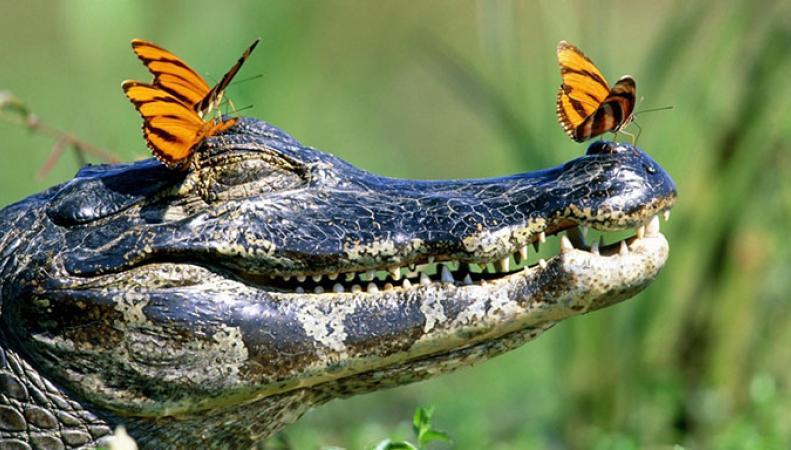 Британец обнаружил в Темзе крокодила