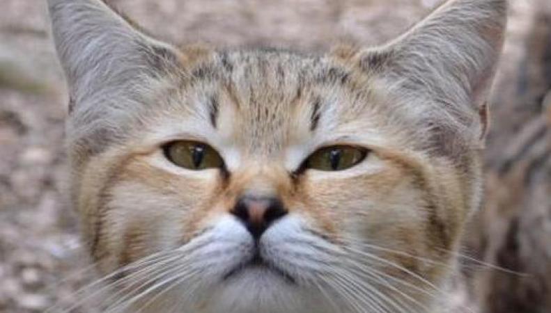 Новую редкую породу кошек покажут на выставке в Суррее фото:standard.co.uk