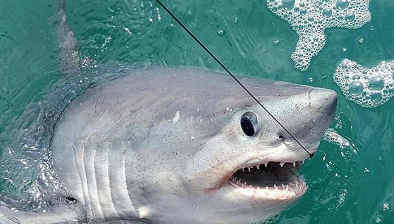 Впечатляющий экземпляр акулы поймали британские рыболовы у берегов Девона