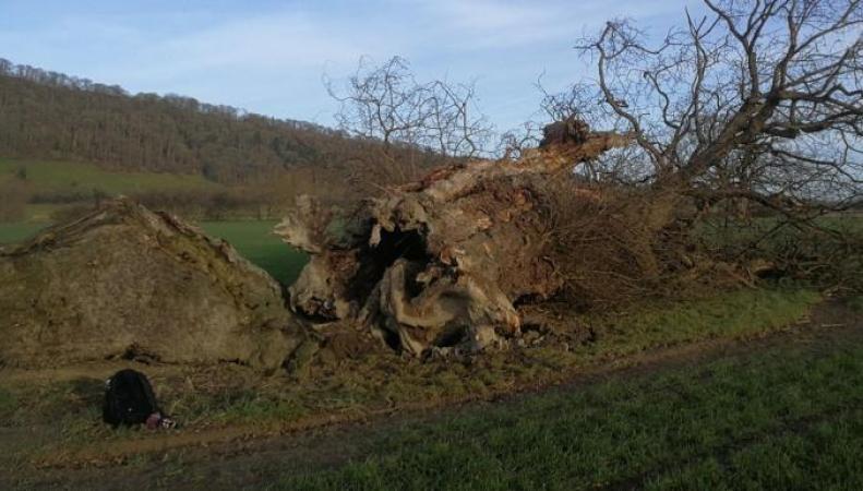 Уэльс остался без знаменитого тысячелетнего дуба