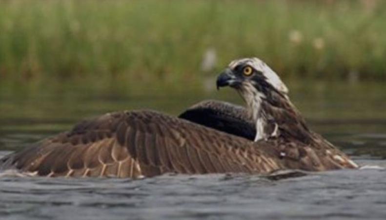 Сцена речной охоты ястреба в Шотландии собрала миллионы просмотров на Facebook фото:bbc.com