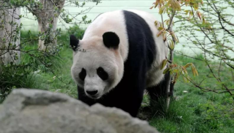 Большая панда может озолотить Эдинбург