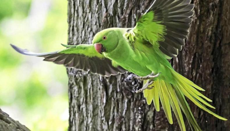 Голодные попугаи уничтожили урожай на единственном лондонском винограднике фото:standard.co.uk