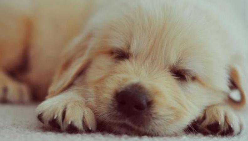 В Великобритании запретят продавать щенков в возрасте младше восьми недель фото:independent