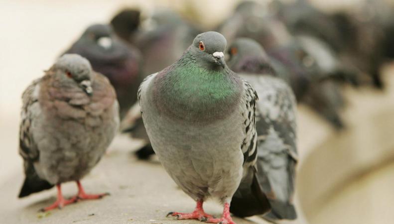 Саутуарк и Хакни потратили полмиллиона фунтов стерлингов на борьбу с голубями фото:standard.co.uk