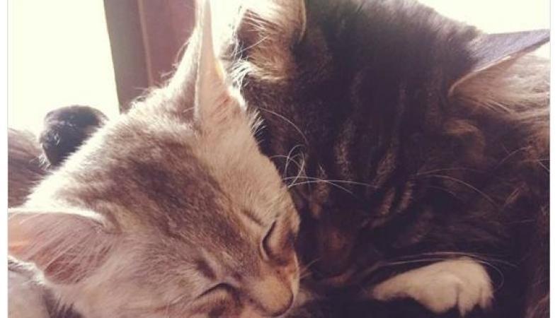 Сетевой «вирус» #CatsAgainstBrexit разрядил обстановку накануне референдума фото:twitter