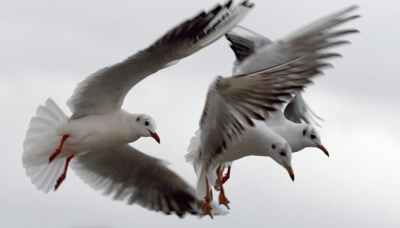 Агрессивные чайки не дают покоя жителям северного района Лондона фото:itv.com