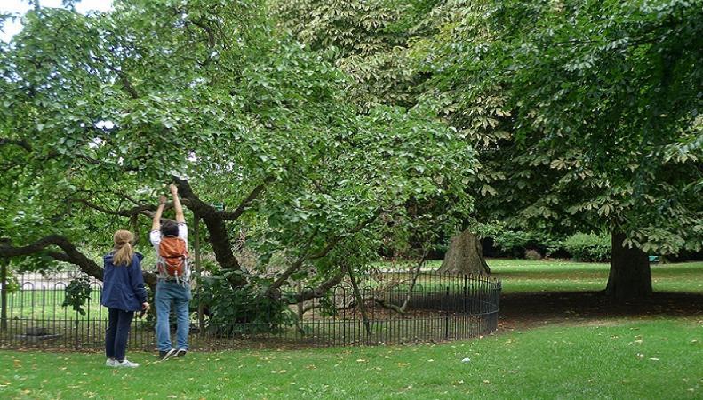 """Шелковица, посаженная Петром I в Лондоне, вошла в шорт-лист конкурса """"Дерево года 2017"""""""