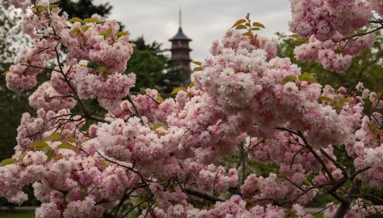 Где в Лондоне полюбоваться цветением сакуры