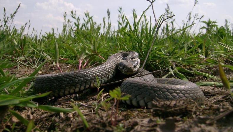 В Хэмпстед Хит резко выросла популяция неопасных змей фото:standard.co.uk